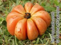 Garcinia gummi-gutta, Garcinia cambogia, Brindleberry, Brindall berry, Gambooge, Malabar Tamarind, Kudam Puli  Click to see full-size image
