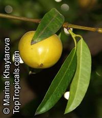 Garcinia humilis - Achacha Honey Kiss   Click to see full-size image