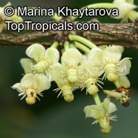 Garcinia megaphylla, Garcinia macrophylla, Rheedia macrophylla, Garcinia magnifolia, Rheedia magnifolia, Bacuru Pary, Bacuripari   Click to see full-size image