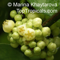 Garcinia nervosa, Mountain Garcinia, Pear Mangosteen  Click to see full-size image