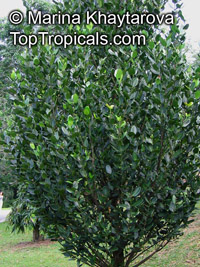 Garcinia subelliptica, Happiness Tree, Common Garcinia  Click to see full-size image