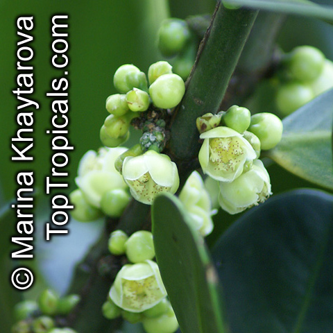 ... schomburgkiana madan more similar plants we have this item for sale