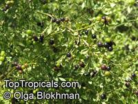 Jasminum odoratissimum, Jasminum floridum, Jasminum fruticans, Showy Jasmine, Florida Jasmine, Yellow Jasmine, Fruity Jasmine  Click to see full-size image