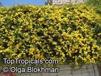 Dolichandra unguis-cati, Macfadyena unguis-cati, Doxantha unguis-cati, Bignonia tweediana, Cat's Claw  Click to see full-size image