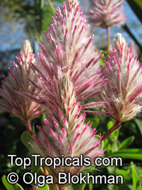 Ptilotus exaltatus, Pink Mulla Mulla, Lamb's Tail  Click to see full-size image