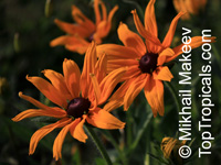 Rudbeckia sp., Black-eyed Susan, Coneflower  Click to see full-size image
