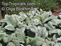 Salvia argentea, Silver Sage, Silver Salvia, Hobbits FootClick to see full-size image
