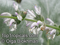 Salvia argentea, Silver Sage, Silver Salvia, Hobbits Foot  Click to see full-size image