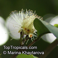 Syzygium aqueum, Eugenia aquea, Water Cherry, Watery Rose Apple  Click to see full-size image