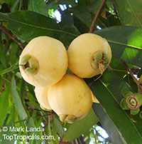Syzygium jambos - Rose apple  Click to see full-size image