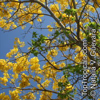 Tabebuia (Handroanthus) riodocensis - Golden Tabebuia  Click to see full-size image