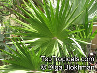 Thrinax morrisii, Simpsonia microcarpa, Thrinax keyensis, Thrinax microcarpa, Broom Palm, Key Thatch Palm  Click to see full-size image