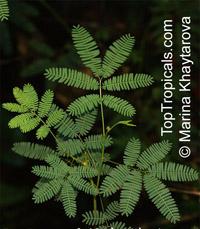 Zapoteca tetragona, Calliandra tetragona , Angel, Carboncillo De Flor BlancaClick to see full-size image