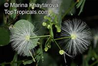 Zapoteca tetragona, Calliandra tetragona , Angel, Carboncillo De Flor Blanca  Click to see full-size image