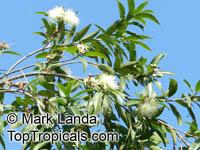Syzygium jambos, Eugenia jambos, Jambosa jambos, Rose apple, Malabar Plum, Pomme rosaClick to see full-size image