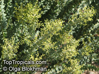 Acacia sp., Prickly Moses, Khair