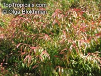 Agonis flexuosa, Western Australian Peppermint, Willow Myrtle  Click to see full-size image