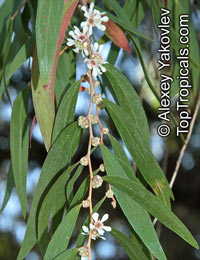 Agonis flexuosa, Western Australian Peppermint, Willow Myrtle