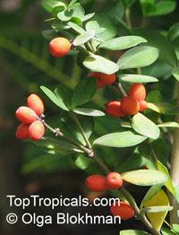 Alyxia gynopogon, Alyxia daphnoides, Alyxia  Click to see full-size image