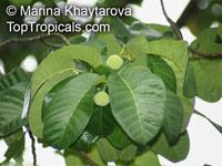 Artocarpus dadah, Green Tampang  Click to see full-size image