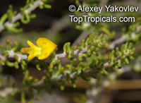 Aspalathus sp., Cape Gorse  Click to see full-size image