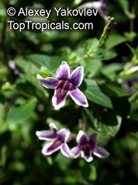 Asystasia intrusa, Asystasia, Ranong  Click to see full-size image