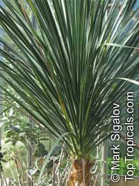 Beaucarnea gracilis, Nolina gracilis, Mexican Pony Tail Palm, Sotolin   Click to see full-size image