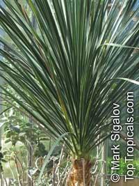 Beaucarnea gracilis, Nolina gracilis, Mexican Pony Tail Palm, Sotolin Click to see full-size image