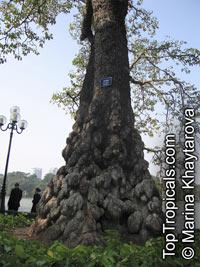 Bombax ceiba, Salmalia malabarica, Bombax malabaricum, Kapok tree, Silk Cotton Tree  Click to see full-size image