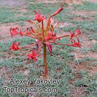 Brunsvigia orientalis, Candelabra Flower, King Candelabra, Chandelier LilyClick to see full-size image