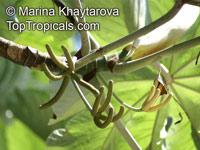 Cecropia peltata, Cecropia, Yagrumo, Guarumo  Click to see full-size image