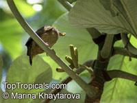 Cecropia peltata, Cecropia, Yagrumo  Click to see full-size image