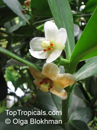 Clusia fluminensis, Dwarf Clusia, Clusia 'Nana'