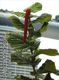 Coccoloba rugosa, Red-flowered Sea Grape, Cardboard Leaf  Click to see full-size image