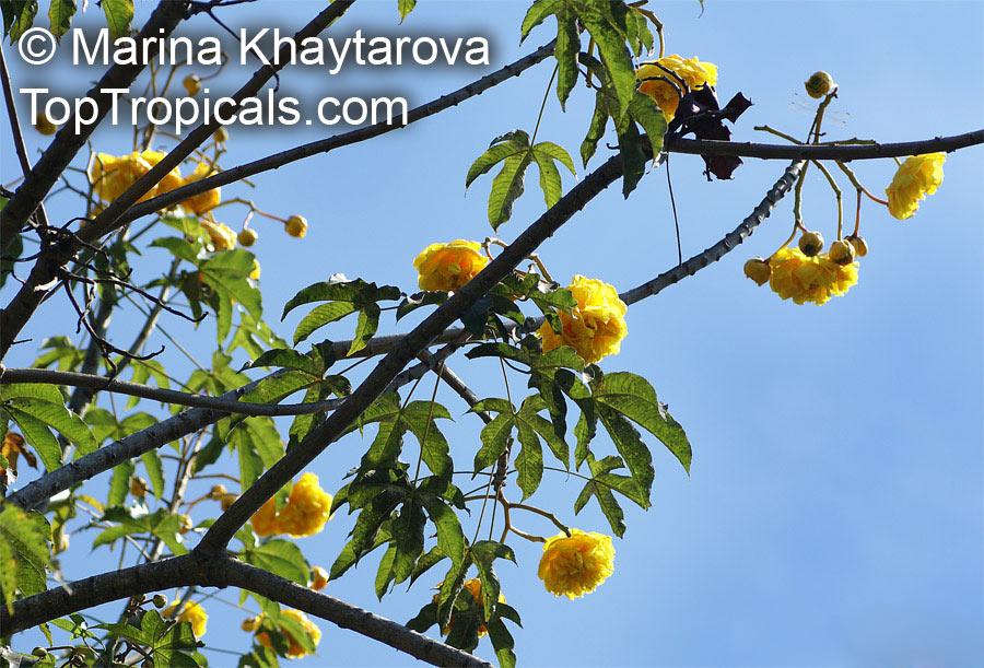 cochlospermum regium yellow cotton tree   toptropicals