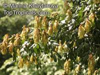 Cynometra malaccensis, Kekatong, Katong Katong, Belangan  Click to see full-size image