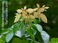 Cynometra ramiflora, Balitbitan, Кatong Laut  Click to see full-size image