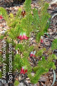 Darwinia sp., Mountain Bells  Click to see full-size image