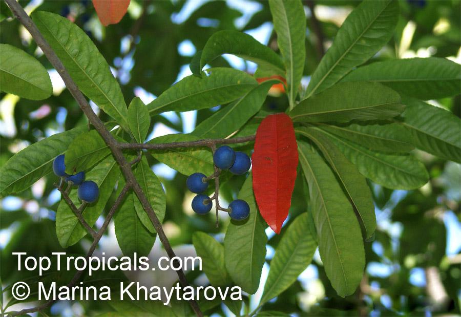 how to grow elaeocarpus ganitrus