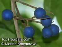 Elaeocarpus ganitrus - seedsClick to see full-size image