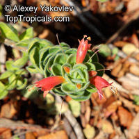 Eremophila sp., Emu bush  Click to see full-size image