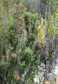 Erica discolor, Two-color Heath  Click to see full-size image