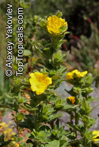 Hibbertia sp., Guinea Flower