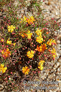 Hibbertia sp., Guinea Flower  Click to see full-size image