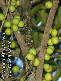 Horsfieldia sucosa, Horsfieldia bracteosa, Darah-darah, Kumpang, PendarahanClick to see full-size image