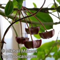 Hoya onychoides, Hoya  Click to see full-size image
