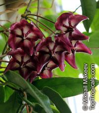 Hoya onychoides, HoyaClick to see full-size image