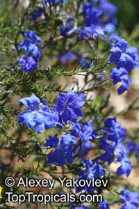 Lechenaultia biloba, Blue Leschenaultia  Click to see full-size image