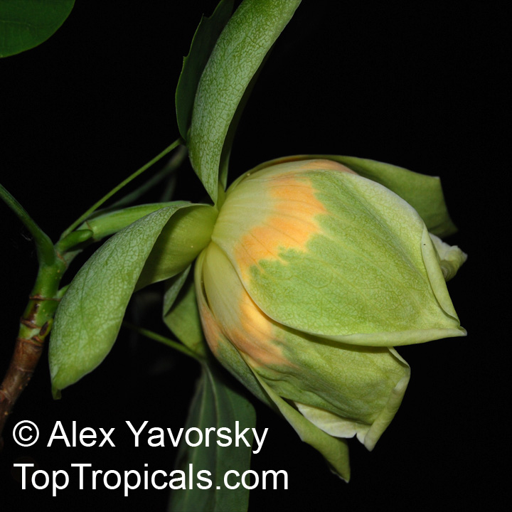 Tulip Poplar Tree Facts Tulip Tree Yellow Poplar