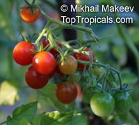 Solanum pimpinellifolium, Lycopersicon pimpinellifolium, Currant Tomato  Click to see full-size image